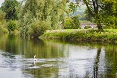 Κύκνος Wading μεγαλοπρεπώς στον ήρεμο ποταμό στην Ιρλανδία Στοκ εικόνες με δικαίωμα ελεύθερης χρήσης