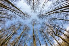 Κύκλος γυμνά treetops το χειμώνα Στοκ Φωτογραφίες