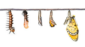 Κύκλος ζωής της καστανόξανθης μετατροπής Coster από την κάμπια στο butterf στοκ φωτογραφία με δικαίωμα ελεύθερης χρήσης
