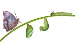 Κύκλος ζωής της καστανόξανθης πεταλούδας Rajah στο λευκό Στοκ Φωτογραφίες