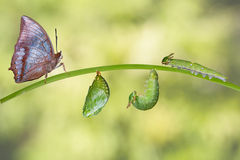 Κύκλος ζωής της καστανόξανθης πεταλούδας Rajah Στοκ φωτογραφία με δικαίωμα ελεύθερης χρήσης