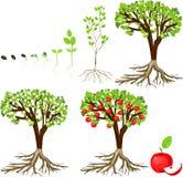 Κύκλος ζωής του δέντρου μηλιάς Στοκ φωτογραφία με δικαίωμα ελεύθερης χρήσης