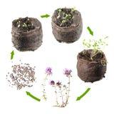 Κύκλος ζωής των εγκαταστάσεων Στάδια της αύξησης του serpyllum θυμαριού ή θύμων αδένων από το σπόρο στο ανθίζοντας φυτό Στοκ εικόνα με δικαίωμα ελεύθερης χρήσης