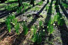 Κύκλος νεράιδων των daffodils Στοκ Εικόνα