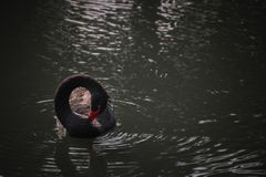 Κύκλος του Κύκνου Στοκ Φωτογραφίες