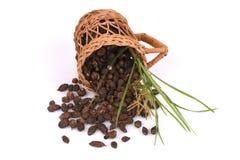 Κύπερη, rotundus Λ Cyperus χλόης κοκοφοινίκων Στοκ Εικόνες