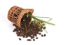 Κύπερη, rotundus Λ Cyperus χλόης κοκοφοινίκων Στοκ φωτογραφία με δικαίωμα ελεύθερης χρήσης