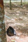 Κύπελλο για το τρύπημα του λατέξ από το λαστιχένιο δέντρο με την εκλεκτική εστίαση Στοκ φωτογραφίες με δικαίωμα ελεύθερης χρήσης