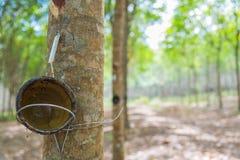 Κύπελλο για το τρύπημα του λατέξ από το λαστιχένιο δέντρο με την εκλεκτική εστίαση Στοκ Εικόνες