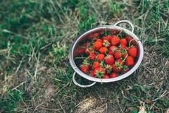 Κύπελλο με τις πρόσφατα επιλεγμένες homegrown οργανικές φράουλες στοκ εικόνα με δικαίωμα ελεύθερης χρήσης