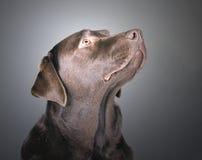 κύρια πεύκα σκυλιών Στοκ Εικόνες