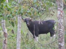 Κύριο javanicus του Bull στοκ φωτογραφία