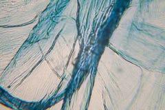Κύτταρα κρεμμυδιών στο μικροσκόπιο στοκ εικόνες