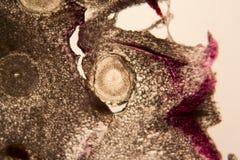 Κύτταρα ρίζας κρεμμυδιών στο μικροσκόπιο Στοκ φωτογραφία με δικαίωμα ελεύθερης χρήσης