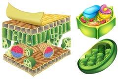 Κύτταρα φυτού διανυσματική απεικόνιση