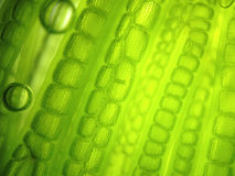 Κύτταρο αλγών μικροοργανισμών ζουμ Στοκ εικόνα με δικαίωμα ελεύθερης χρήσης