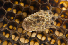 κύτταρο βασίλισσας σμήνων, κύτταρο βασίλισσας έκτακτης ανάγκης στοκ εικόνες