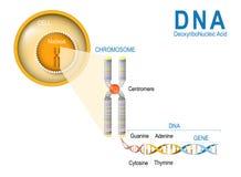 Κύτταρο, χρωμόσωμα, DNA και γονίδιο διανυσματική απεικόνιση