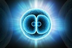 Κύτταρο Zygote ελεύθερη απεικόνιση δικαιώματος