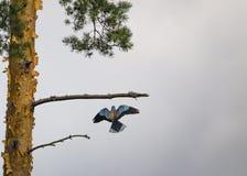 Κύλινδρος που πετά στον κλάδο στοκ φωτογραφίες