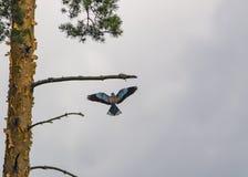 Κύλινδρος που πετά στον κλάδο στοκ φωτογραφία