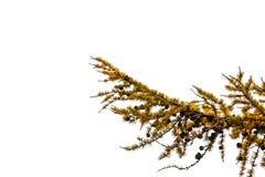 Κώνοι δέντρων πεύκων στο δέντρο πεύκων Στοκ Φωτογραφία