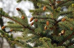 κώνοι έλατου στο δέντρο Στοκ Εικόνες
