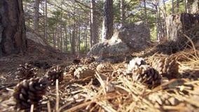 Κώνοι κέδρων στο δάσος στο φως του ήλιου απόθεμα βίντεο