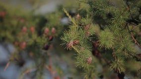 Κώνοι και βελόνες στο δέντρο απόθεμα βίντεο