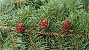 Κώνοι και κλάδος της κινηματογράφησης σε πρώτο πλάνο υποβάθρου χριστουγεννιάτικων δέντρων στοκ φωτογραφία