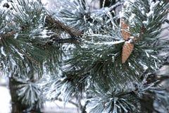 Κώνοι και παγετός σε έναν κλάδο πεύκων στοκ εικόνα