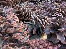 Κώνοι κωνοφόρων στο έδαφος Στοκ Εικόνα