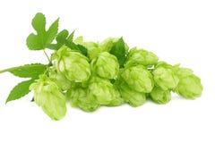 Κώνοι λυκίσκου που απομονώνονται στο άσπρο υπόβαθρο Συστατικά παρασκευής μπύρας Έννοια ζυθοποιείων μπύρας Ανασκόπηση μπύρας στοκ φωτογραφίες
