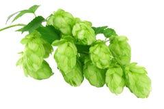 Κώνοι λυκίσκου συστατικών παρασκευής μπύρας που απομονώνονται στο άσπρο υπόβαθρο Έννοια ζυθοποιείων μπύρας Ανασκόπηση μπύρας στοκ εικόνες με δικαίωμα ελεύθερης χρήσης