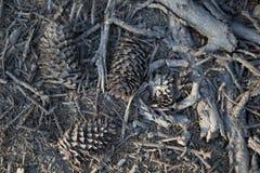 Κώνοι πεύκων και ξηροί κλάδοι δέντρων στο έδαφος στοκ εικόνες