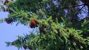 Κώνοι πεύκων που κρεμούν τους κλάδους τη θυελλώδη ηλιόλουστη θερινή ημέρα φιλμ μικρού μήκους
