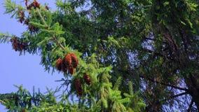 Κώνοι πεύκων που κρεμούν τους κλάδους τη θυελλώδη ηλιόλουστη θερινή ημέρα απόθεμα βίντεο