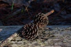 Κώνοι πεύκων που λαμβάνονται από τη μακροεντολή στο δάσος στο μέρος 2 πρωινού στοκ εικόνες με δικαίωμα ελεύθερης χρήσης