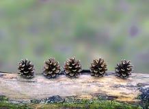 Κώνοι πεύκων που τακτοποιούνται σε έναν κλάδο Στοκ Εικόνες
