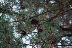 Κώνοι πεύκων σε ένα δέντρο πεύκων κλείστε επάνω Στοκ εικόνα με δικαίωμα ελεύθερης χρήσης
