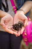 Κώνοι πεύκων στα χέρια ενός νέου κοριτσιού Γυναίκα με κώνους τους ρόδινους τσαντών εκμετάλλευσης πεύκων στα χέρια της Στοκ Εικόνες