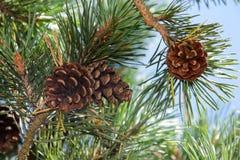 Κώνοι πεύκων στους κλάδους δέντρων με τις βελόνες πεύκων Στοκ Εικόνα