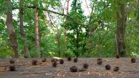 Κώνοι πεύκων στο δάσος φιλμ μικρού μήκους