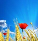 Κώνοι σίτου με τις κόκκινες παπαρούνες ενάντια στον όμορφο ουρανό Στοκ Εικόνες