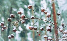 Κώνοι σε έναν κλάδο στο χιόνι Στοκ φωτογραφία με δικαίωμα ελεύθερης χρήσης