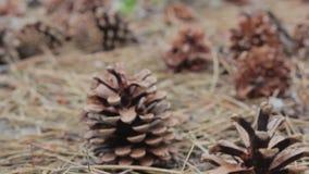 Κώνοι σε ένα δάσος πεύκων φιλμ μικρού μήκους