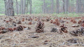 Κώνοι σε ένα δάσος πεύκων απόθεμα βίντεο