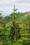 Κώνοι σε ένα δέντρο Στοκ Εικόνα