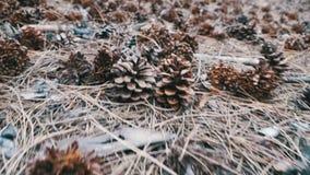 Κώνοι σε ένα δάσος πεύκων οι κινήσεις καμερών χαμηλές πέρα από το έδαφος φιλμ μικρού μήκους