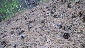 Κώνοι σε ένα δάσος πεύκων οι κινήσεις καμερών χαμηλές πέρα από το έδαφος απόθεμα βίντεο